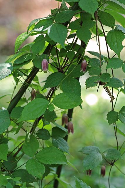 ハンショウヅル(半鐘蔓)