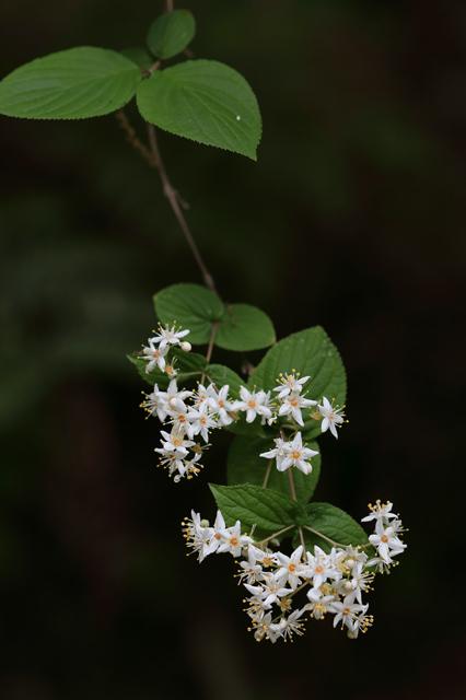 マルバウツギ(丸葉空木)