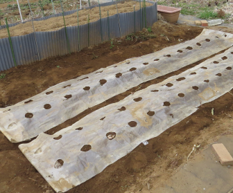サツマイモとサトイモの高温処理ビニール被せ