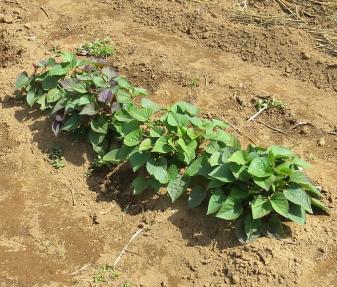 サツマイモ苗用芽出し5月(昨年)