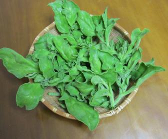 アイスプラント収穫物