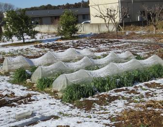 ソラマメ防虫ネット栽培と隣のオート