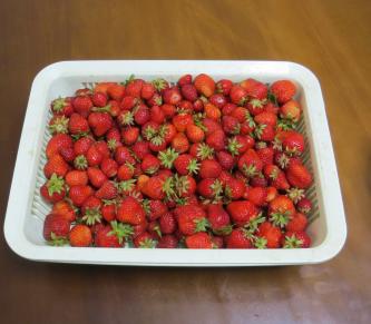イチゴ収穫物6月