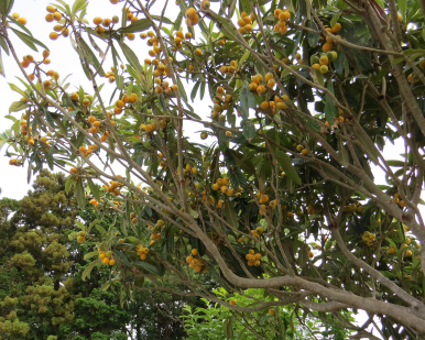 ビワの木6月