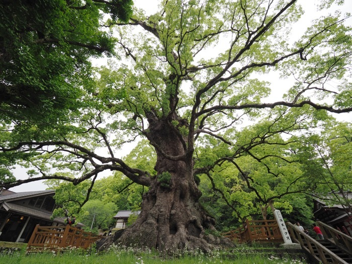 緑のおっきな木