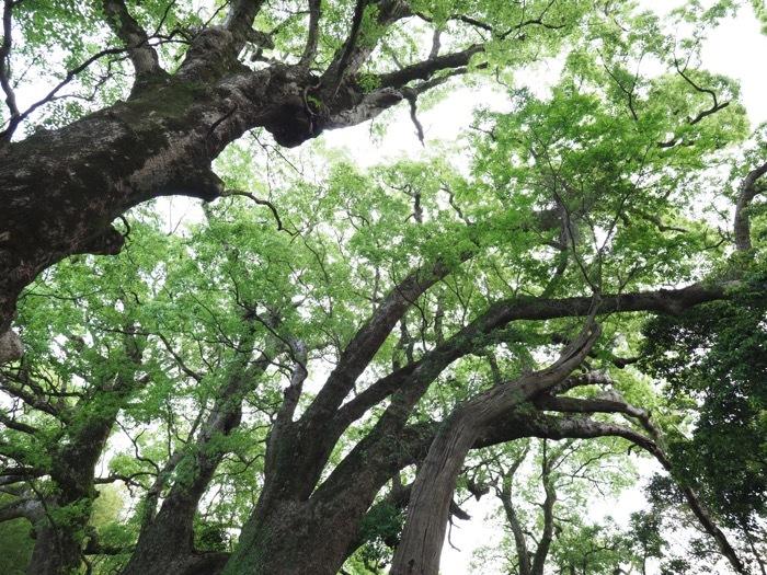 楠は竜になる日を夢見る