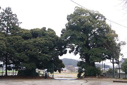 190311高尾神社のスダジイ⑥