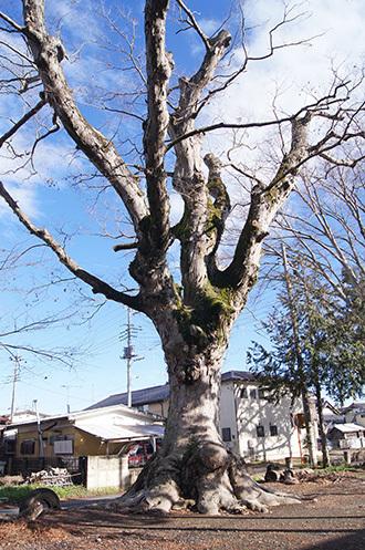 190311三所神社ケヤキ①