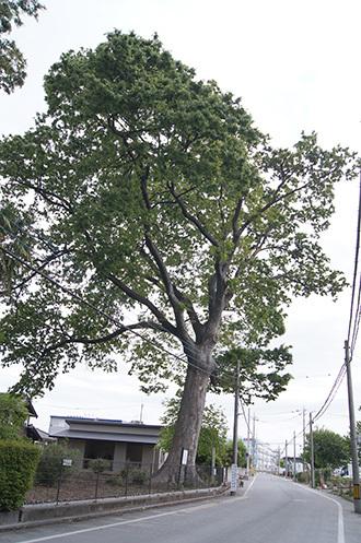 190502北区宮原のケヤキ①