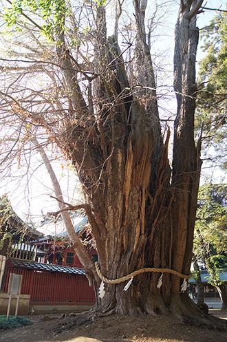 190416峯ヶ丘八幡神社銀杏①