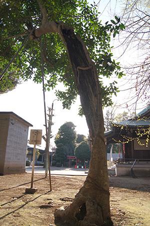 190416峯ヶ丘八幡神社銀杏⑥