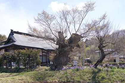 190420安楽寺のケヤキ⑤