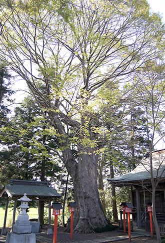 190420北中八幡宮ケヤキ②