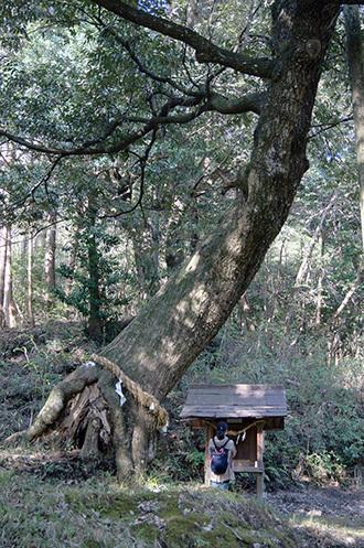 190420綱神社のスダジイ⑧