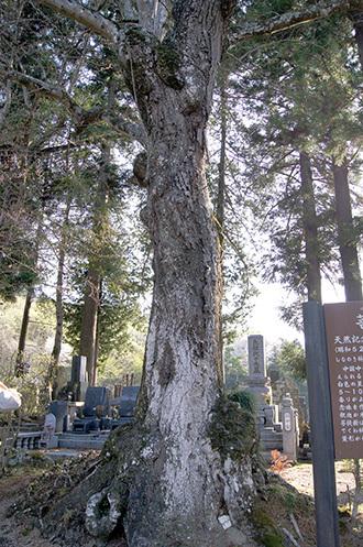 190420地蔵院の菩提樹①