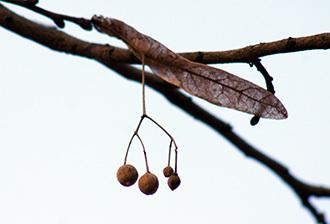 190420地蔵院の菩提樹②