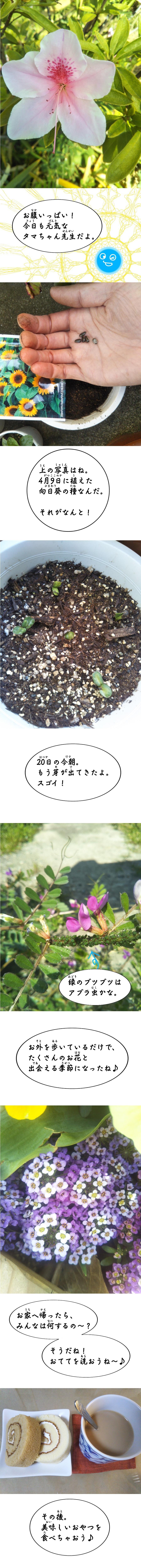 向日葵の芽。