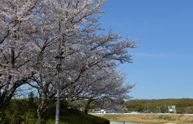 2019-4-9本日の桜2矢勝緑地