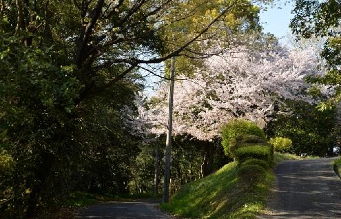 2019-4-9本日の桜1