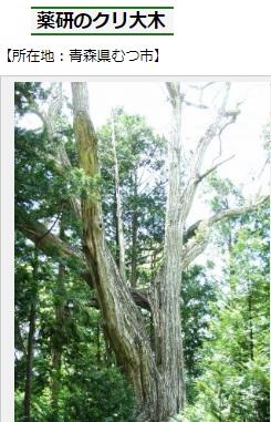 2019-5-13青森県むつ市の栗の大木樹齢800年