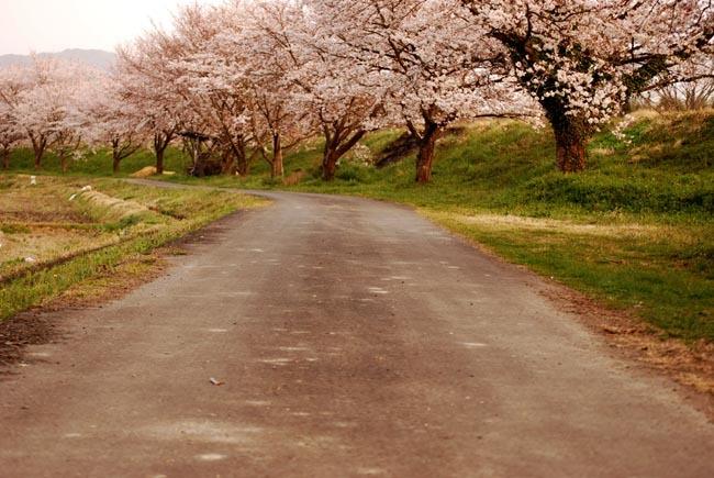 DSC_0575yuusakura2.jpg