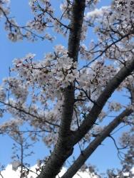 190405_03桜