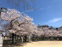 190405_05三本松公園の桜