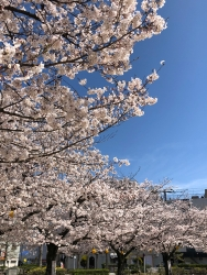 190405_06桜