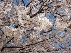 190408_11桜