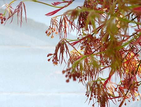 0418枝垂れ紅葉の芽吹き