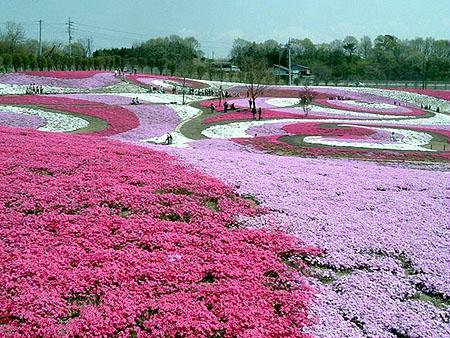 0420満開芝桜1