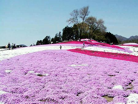 0420満開芝桜