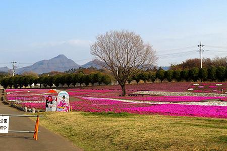 0420現在の芝桜1
