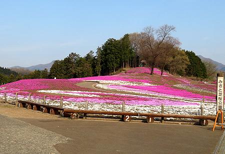 0420現在の芝桜