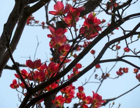 0423花水木