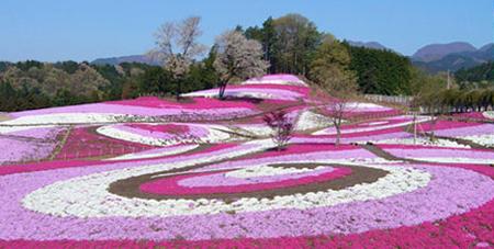 0425芝桜公園