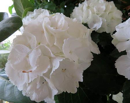 0429白紫陽花