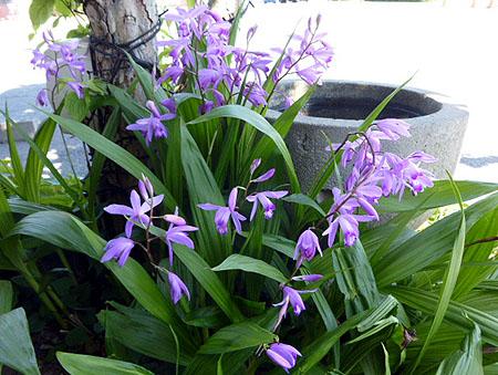 0505紫蘭