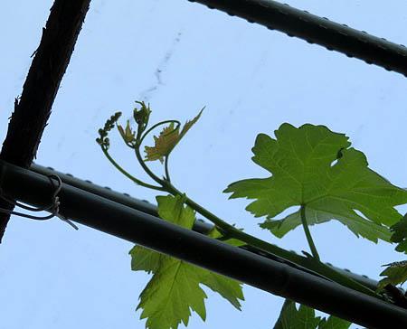 0515葡萄花芽1