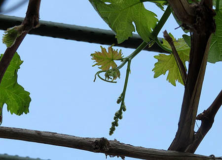 0515葡萄花芽