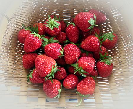 0521イチゴ収穫