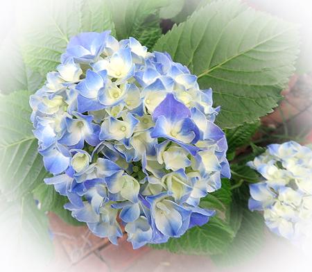 0606紫陽花1