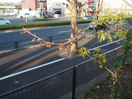 20190324・多磨霊園1-08・東八道路沿いに桜が