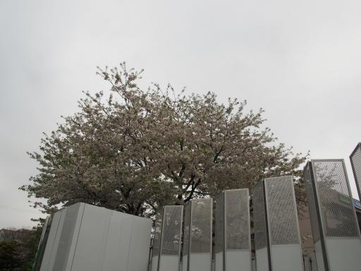 20190330・東京さ空06・刑務所跡地の桜