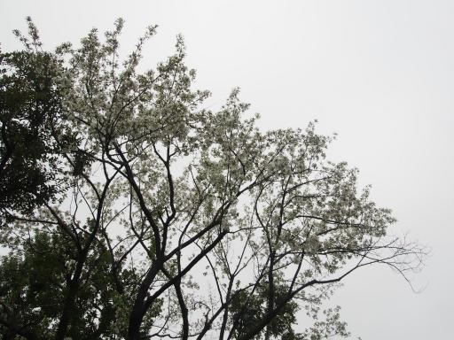 20190330・東京さ空04・平和の森の桜