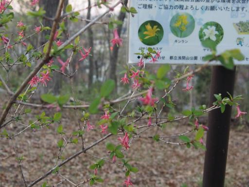 20190324・多磨霊園植物06・ウグイスカグラ