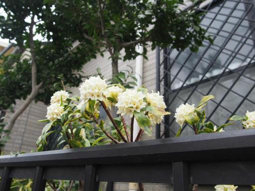 20190330・東京さ植物06・シロバナジンチョウゲ