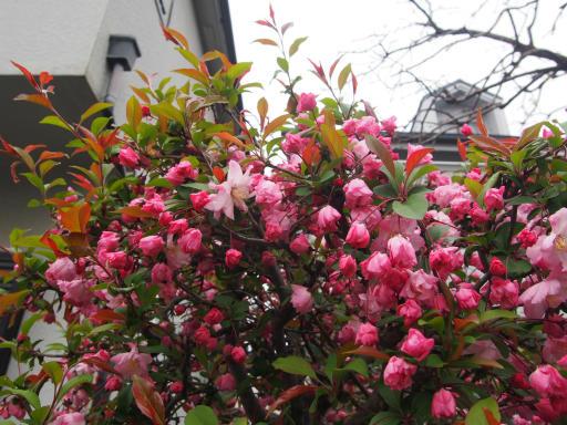 20190330・東京さ植物05・カイドウ