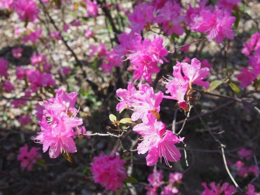 20190415・長野旅行植物12・ツツジ(吉野)