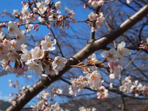 20190415・長野旅行植物桜・上田城4・大